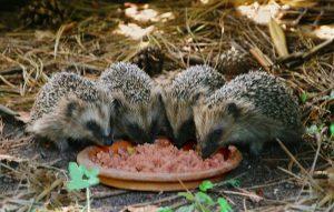 Jungigel gehören normalerweise in den Garten!