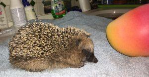 untergewichtiger Jungigel mit 170g, so lang, aber nur ein Drittel so dick wie eine Mango