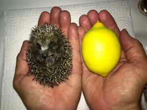 75 g, etwa Zitronengröße (kleine Zitrone)