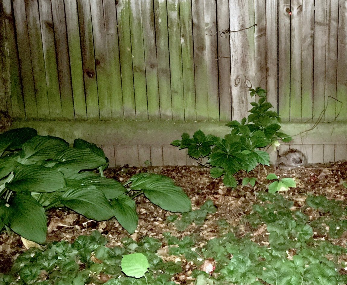 zu-Igelfreundschaft-im-Garten-2-e1475604960517.jpg