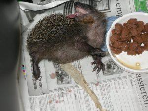 Jungigel gespeichelt sich mit dem Geschmack seiner ersten Fleichmahlzeit den Rücken (angeborenes, lebenslanges Verhalten bei neuen Gerüchen und Geschmäckern)