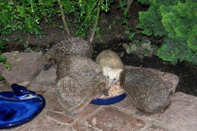 20.9.2009: Engelchen ist unserem Garten treu geblieben. Nach einem Winterschlaf in der Freiheit kommt sie im Frühjahr und im Herbst zur Futterstelle.