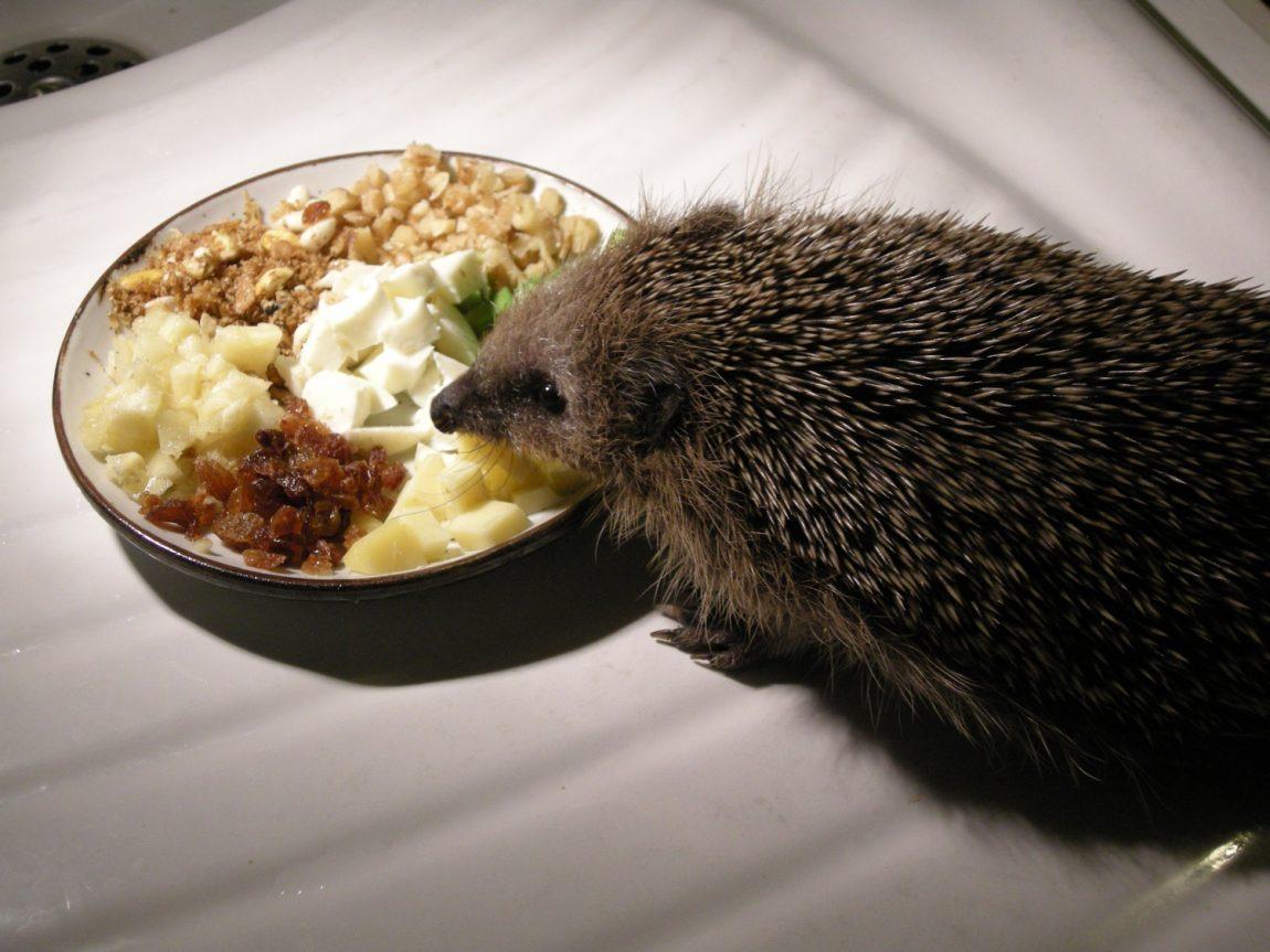 Vegetarischer-Teller-mit-Igel-der-wegen-Darmentzündung-kein-fleischhaltiges-Futter-frisst.jpg